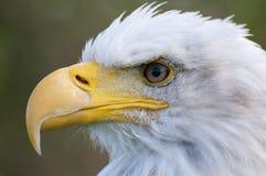 Bald eagle. Closeup of a bald eagle Stock Photos