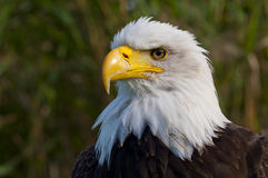 Bald eagle. Portrait of a bald eagle Stock Photo