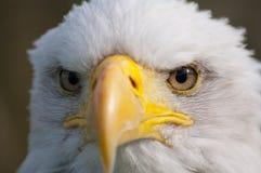 Bald eagle. Closeup of a bald eagle Stock Photography