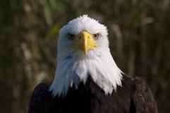 Bald eagle. Portrait of a bald eagle Stock Images