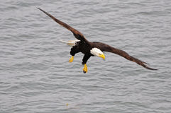 Bald eagle. Stock Image