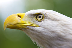 Bald Eagle. A bald eagle profile with good eyes very close Stock Images