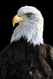 Bald eagle. Photo of bald eagle on black background Stock Photography