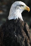 Bald eagle. American bald eagle in nature Royalty Free Stock Photos