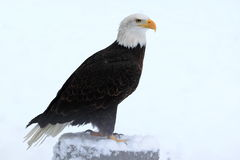 Bald eagle. The bald eagle in winter Royalty Free Stock Image
