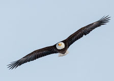 Bald Eagle. Soaring on a hunting run stock images