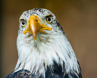 The Bald Eagle Stock Photo