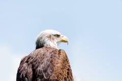 Bald eagle Royalty Free Stock Image