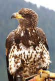 Bald Eagle. Young American Bald Eagle, Canadian Rockies Royalty Free Stock Photo