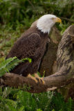 Bald Eagle. Perched on a tree Stock Images