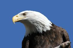 Bald Eagle 3. A magestic Bald Eagle close-up against blue background Royalty Free Stock Photography