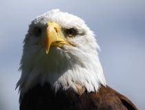 Bald eagle. Portrait of an American Bald Eagle Stock Images