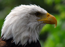 Bald eagle. Portrait of an American Bald Eagle Stock Image