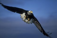 Bald eagle. In action stock photos
