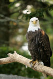 Bald Eagle. Sitting on a tree branch Royalty Free Stock Photos