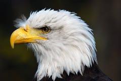 Bald Eagle. Portrait of an American Bald Eagle (Haliaeetus leucocephalus Stock Images