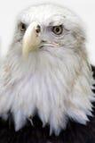 Bald Eagle. A Bald Eagle set on a white background Stock Photography