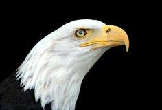 Bald eagle. American bald eagle portrait on black background Royalty Free Stock Image