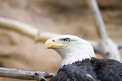 Bald Eagle Stock Photos