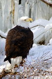 Bald Eagle. Against a winter wonderland scene Stock Images