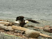 Bald Eagle. An Eagle looking for snacks among the driftwood Stock Image