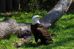 Bald Eagle. By a fallen tree Stock Images