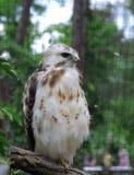 Bald eagle. Close up of a Bald Eagle Royalty Free Stock Photos