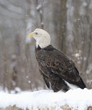 Bald eagle Royalty Free Stock Photos