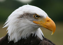 Bald Eagle. Close up shot of an American Bald Eagle Stock Photography