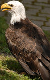 Bald Eagle. Photo of tethered Bald Eagle royalty free stock images