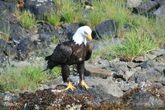 Bald eagle. Waiting for a fish Stock Photo