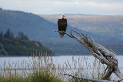 Bald Eagle. This picture was taken in Homer, Ak. out on The Spit Stock Images