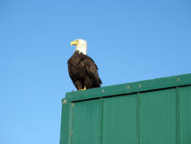 Bald eagle Stock Photography