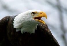 Bald Eagle. A bald eagle profile. The American emblem Royalty Free Stock Photo