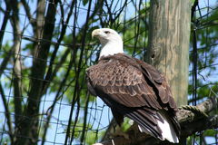 Bald eagle. Image of a bald eagle sitting in its nest Stock Photo