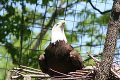 Bald eagle. Image of a bald eagle sitting in its nest Royalty Free Stock Photography