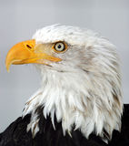 Bald eagle. Profile of a bald eagle Stock Image