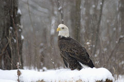 Bald eagle. In snowfall. Northern Minnesota Royalty Free Stock Photos