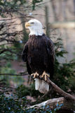 Bald Eagle. American Bald Eagle with strong claws sitting on branch looking to the left stock photography