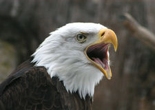 Free Bald Eagle Stock Photo - 796510