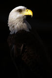 Bald Eagle. Closeup of a Bald Eagle isolated on black background Royalty Free Stock Images