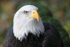 Bald eagle. A bald eagle flying in the sky Royalty Free Stock Photos
