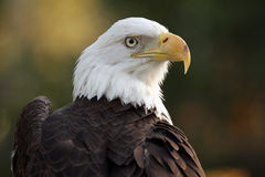 Bald Eagle. Portrait of single bald eagle Royalty Free Stock Images