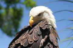Bald Eagle. With blue sky in the background Stock Images
