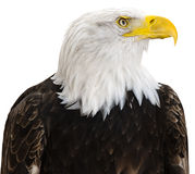 Bald Eagle. Isolated on a white background Stock Photos