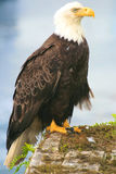 Bald Eagle. In Prince Rupert BC Stock Photo