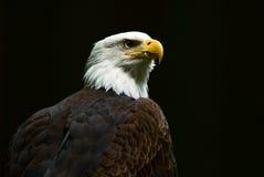 Bald Eagle. A Bald Eagle Royalty Free Stock Images