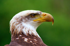 Bald Eagle 9. Beautiful Bald Eagle Close-up Royalty Free Stock Photos