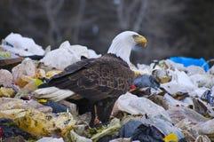 Bald Eagle. With blood on beak Stock Photography