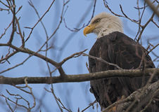 Bald Eagle. Profile portrait of a wild wintering Bald Eagle with alert expression sitting in a tree Royalty Free Stock Image